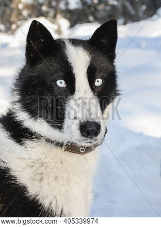 Portrait Of A Black And White Typical Siberian Hunting Dog-husky With Blue Eyes. Native Of The East