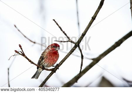 House finch outside sitting on tree branch
