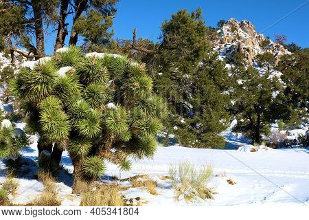 Joshua Trees Besides Pinyon Pine Trees Surrounded By Snow On The High Desert Plateau Taken At Rural