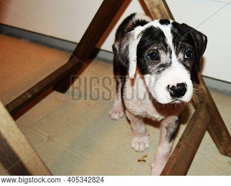 Black White Puppy Dog Under Chair Legs On Concrete