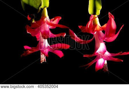 Red Christmas Cactus Flower With The Latin Name Schlumberger On A Dark Background, Illuminated By Th