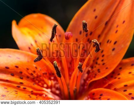 Red Orange Lily Flower. Pistil And Stamens With Pollen Close-up.