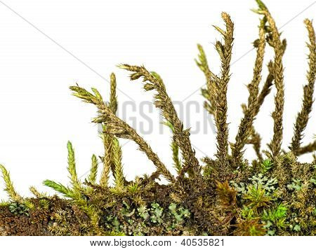 Moss Algae And Lichen Macro Isolated Over White