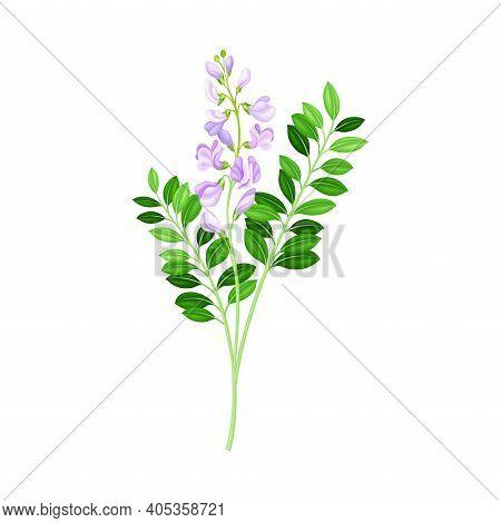 Flowering Plant With Purple Florets On Stem As Medical Herb Vector Illustration