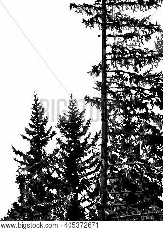 Silhouettes Of Fir Trees Isolated On White Background. Natural Monochrome Vertical Background With C