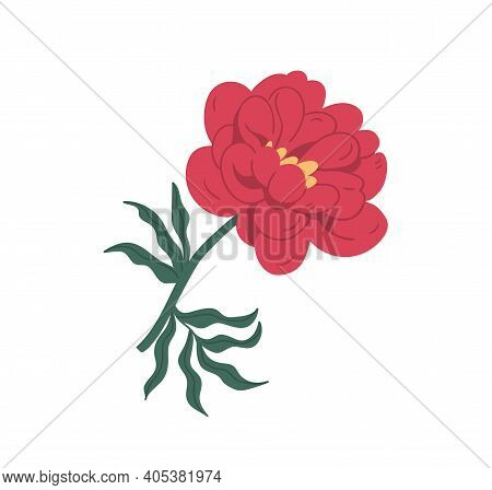 Gorgeous Blossomed Red Peony Or Dahlia With Bright Lush Petals. Elegant Blooming Flower With Stem An