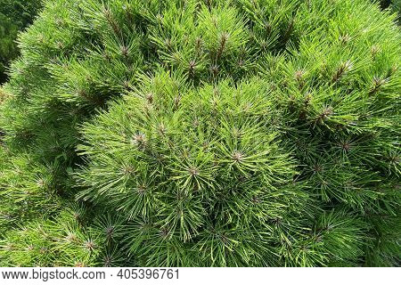 Gardening And Landscaping With Fresh Green Decorative Trees And Plants. Branches Of Evergreen Conife