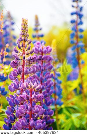 Purple Pink Lupine Blooming In The Fog. Close Up Of Flowers In Dew Drops. Beautiful Nature Backgroun