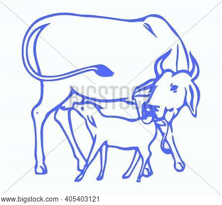 Drawing Or Sketch Of Young Cow Drinking Milk From Mother Editable Outline Illustration