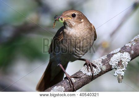 Luscinia Luscinia, Thrush Nightingale