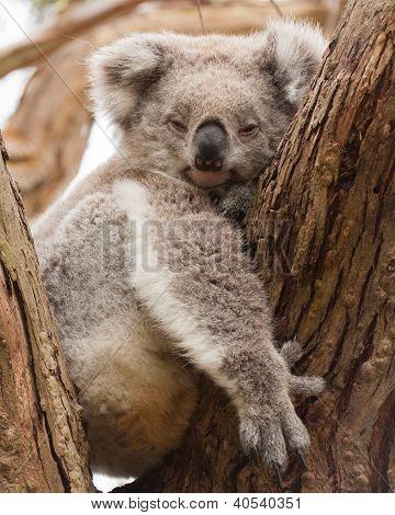 Resting koala
