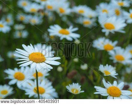 Pretty White Oxeye Daisies, Leucanthemum Vulgare, Flowering In A Summer Meadow