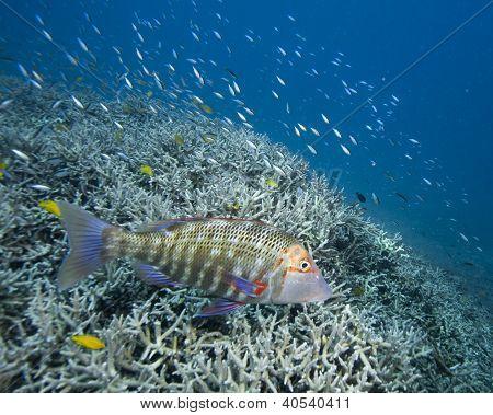 Grouper on reef