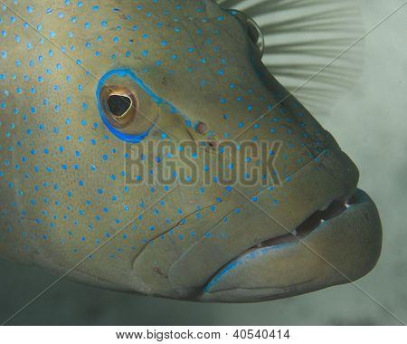 Closeup of grouper