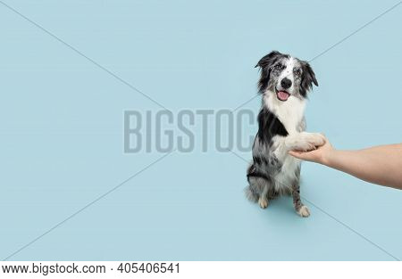 Border Collie Obedience. Dog High Five With Human Hand. Isolated On Blue Background.