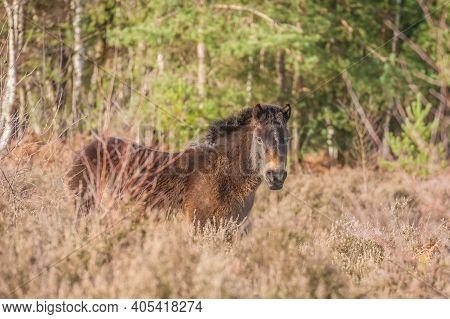 Free Roaming Exmoor Pony In Heathland And Woodland