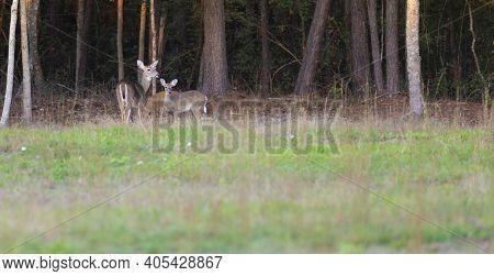 Trio Of Whitetail Deer Near Raeford In Hoke County North Carolina