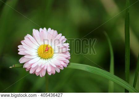 White And Pink Daisy Flower In Green Grass. Marguerite In Summer, Beauty Of Nature