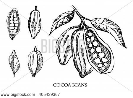 Cocoa Beans Vector Set Illustration.vintage Ink Hand Drawn Beans, Isolated On White Background. Bota