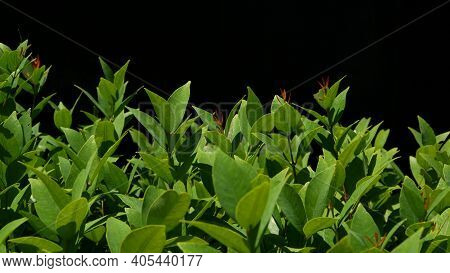 Green Plant Growing On Plantation. Plant With Green Leaves Growing On Plantation Against Black Backg