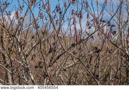 Closeup Of A Hazel Alder Bush With Catkins And Little Cones At The Wetlands Against The Blue Sky In