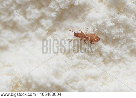 Red Insect Weevil Appeared In Flour Provisions At Home