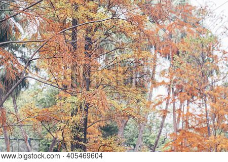 Beautiful Autumn Gold Orange Yellow And Orange Leaves On Tree Branches. Autumn Nature Landscape.