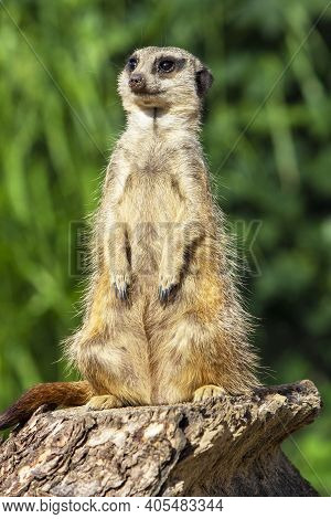 Meerkat On Lookout Seen In Safari Park
