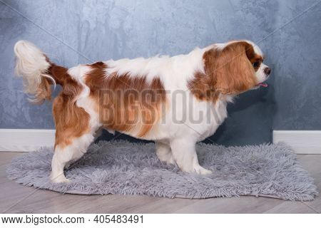 Cavalier King Charles Spaniel On A Gray Background With A Beautiful Haircut By Breed After Visiting