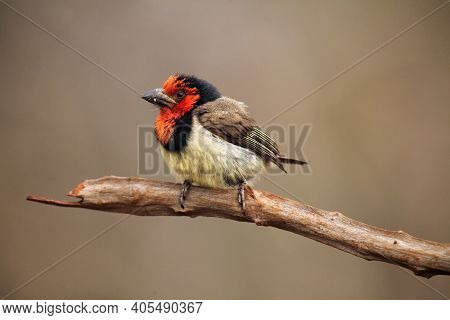 The Black-collared Barbet (lybius Torquatus) Sitting On The Branch With A Light Brown Background. La