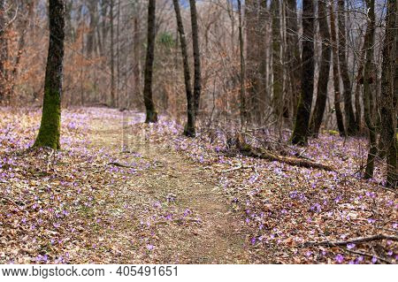 Spring Forest With Wild Irises. Purple March Flowers Blossom. Path Between Flowers In The Woods, Spr