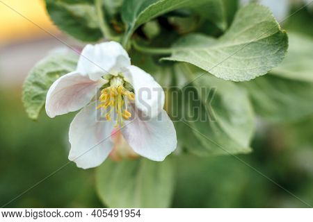 Beautiful White Apple Blossom Flowers In Spring Time. Background With Flowering Apple Tree. Inspirat