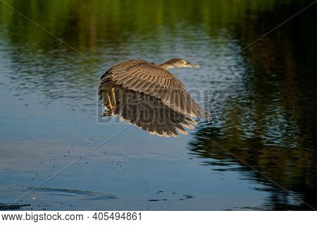 Yellow-crowned Night-heron - Nyctanassa Violacea Is Bird Night Herons Found In The Americas, Known A