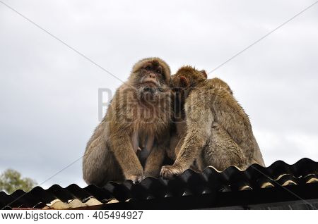 Adult Monkey Embracing Each Other To Warm In Cold Weather. Furry Barbary Macaque Apes Sit On Rooftop