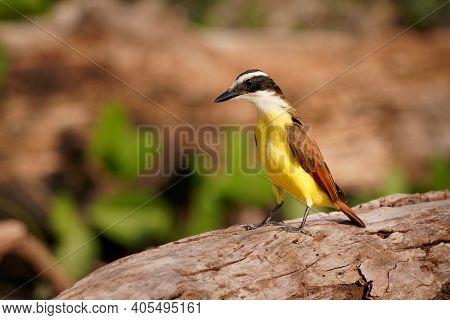Great Kiskadee - Pitangus Sulphuratus  Passerine Yellow, White, Black And Brown Bird In The Tyrant F