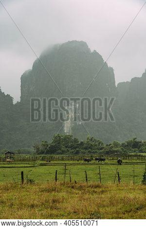 Water Buffalo Graze On Lush, Green Farmland In Front Of Sharp Mountain Peaks In Vang Vieng, Laos.