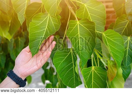 Cropped Shot Of Someone Hand Touching Bodhi Tree Leaves, It Is An Important Pilgrimage Site For Budd