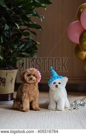 Cute White Bichon Frise And Teacup Poodle Dogs Celebrating Birthday At Home. Domestic Pet Party With