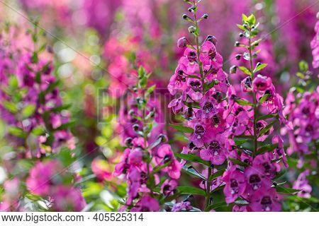 Angelonia Serena Flower. Flower In Garden At Sunny Summer Or Spring Day. Colorful Flower. Flower For