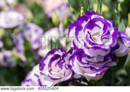 Lisianthus Flower. Flower In Garden At Spring Day. Flower For Decoration And Agriculture Concept Des