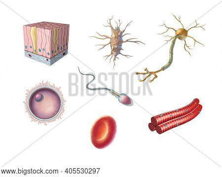 Different types of human cells including an egg cell, sperm, red blood cell, osteocyte, neuron, skeletal muscle and columnar epithelial cell. 3D illustration.