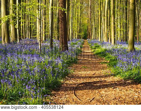 A Straight Path Leading Through A Vibrant Blue And Purple Carpet Of Bluebells During Spring In The F
