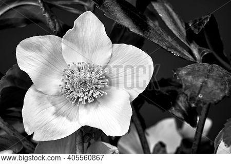 Detail Of White Hellebore Flower In Poland, Monochrome