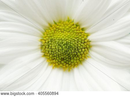 Close Up Of Daisy Flower Petals With Yellow And Green Heart.