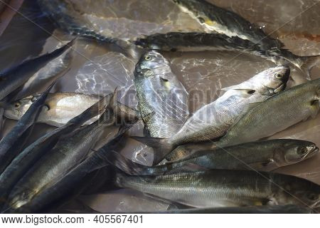Live Bluefish Sold In Traditional Seafood Markets In Turkey / Lufer
