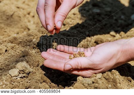 Sowing Of Seed In Earth. The Hand Of Woman Sows Seed In Earth. Farmer Hand Sawing Seed On Soil