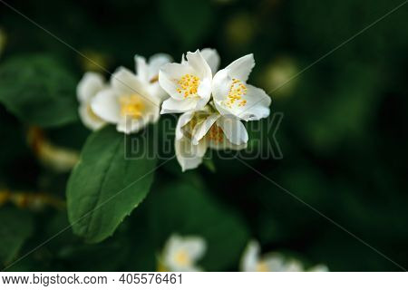 Beautiful White Jasmine Blossom Flowers In Spring Time. Background With Flowering Jasmin Bush. Inspi