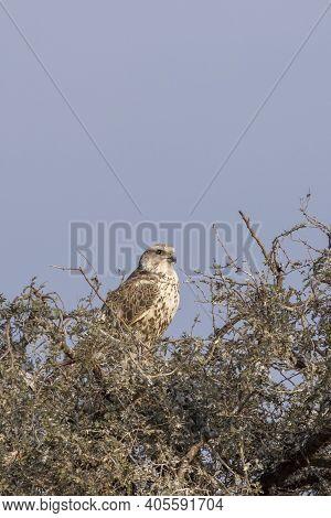 Saker Falcon Or Falco Cherrug Portrait During Winter Migration At Jorbeer Conservation Reserve Bikan