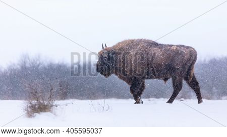 European Bison In The Beautiful White Forest During Winter Time