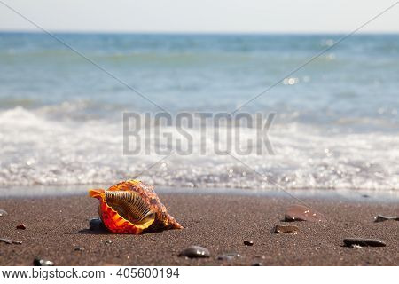 Charonia Tritonis Clam On The Sand. Triton Is Very Large Predatory Marine Gastropods Snail In The Ge